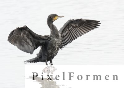 Kormoran, Phalacrocorax carbo