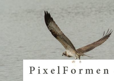 Fischadler, Pandion haliaetus