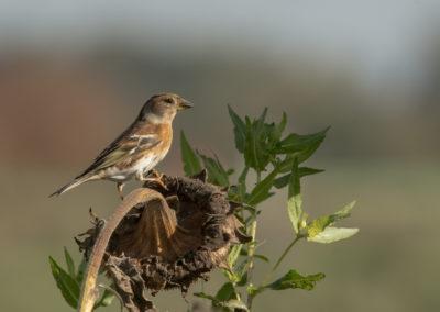 Bergfink, Fringilla montifringilla