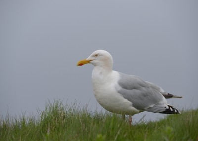 Westmöwe, Larus occidentalis