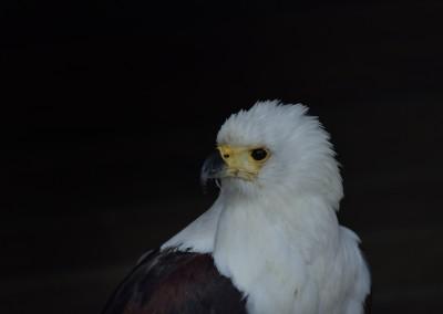 Schreiseeadler, Aquila Greifvogelstation Hellenthal,