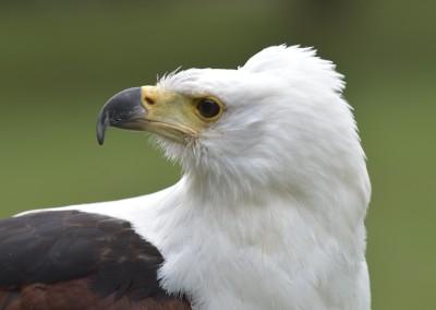 Schreiseeadler, Aquila pomarina