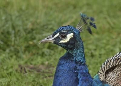 Blauer Pfau, Pavo cristatus, m.