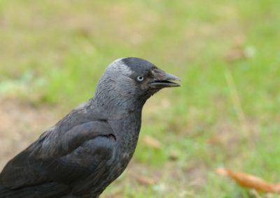 Dohle. Corvus monedula