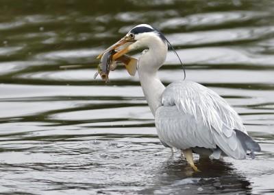 Grau- oder Fischreiher, Ardea cinerea