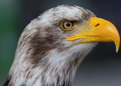 Seeadler, Haliaeetus albicilla, Greifvogelstation Hellenthal