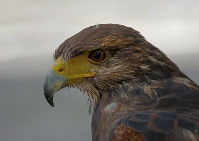 Steinadler, Aquila chrysaetos, Greifvogelstation Hellenthal,