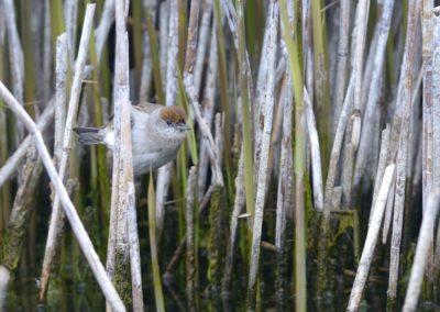 Mönchsgrasmücke, Sylvia atricapilla, w.