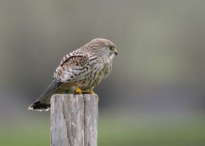 Turmfalke, Falco tinnunculus