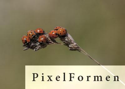 Marienkäfer Fam. der Coccinellidae