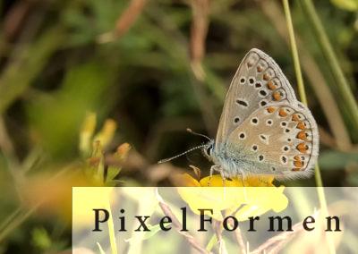 Hauhechel-Bläuling, Polyommatus icarus