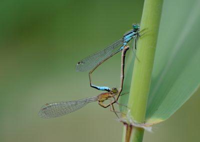 Gemeine Becherjungfer, Enallagma cyathigerum