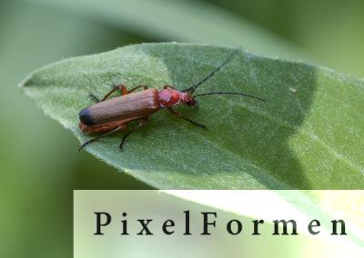 Bockkäfer, Fam. der Cerambycidae