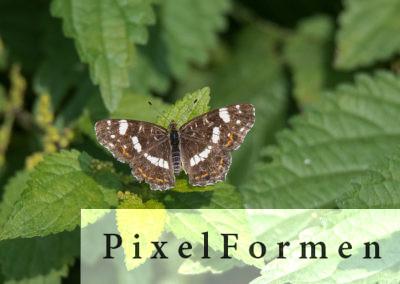 Landkärtchen, Sommergeneration, Araschnia levana