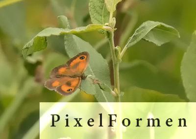 Rotbraunes Ochsenauge, Pyronia tithonus