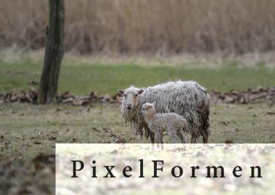 Schaf mit Jungtier ca. 1 Tag alt frei geboren.