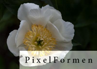 HWD_2Pfingstrose, Paeonia lactifolia (?)