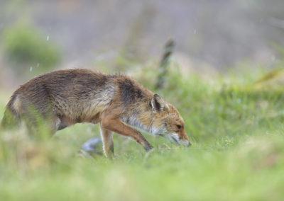 Fuchs, Vulpes vulpes