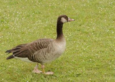 Vogelwarte Helgoland 17-ES9