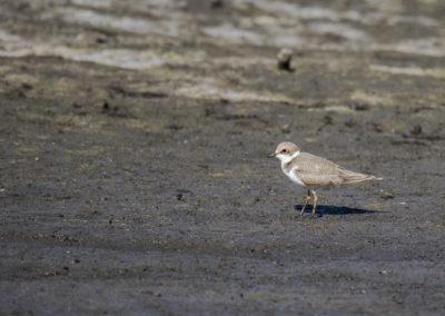 Flussregenpfeifer, Charadrius dubius, Jungvogel