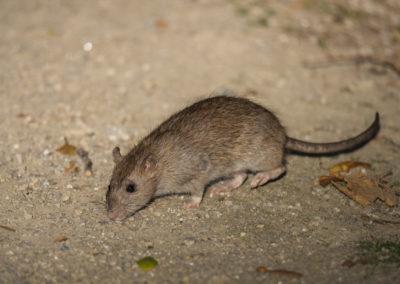 Wanderratte, Rattus norvegicus