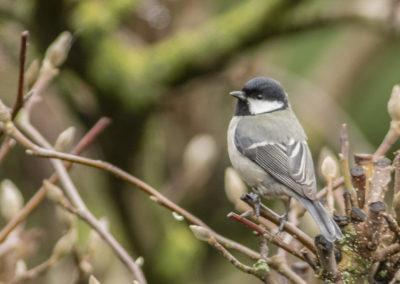 Tannenmeise, Parus ater