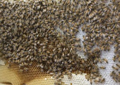 Backfastbienen, Apis melifera