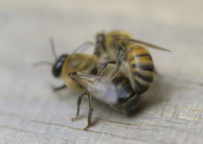 Backfastbiene sticht männlichen Drohn.